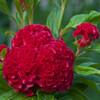 Cockscomb Flower Seeds - flowering