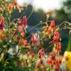 Colonial Williamsburg Columbine Native Flower Seeds - flowering