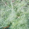 Colonial Williamsburg Heirloom Herb Seeds Collection Packet  - flowering dill