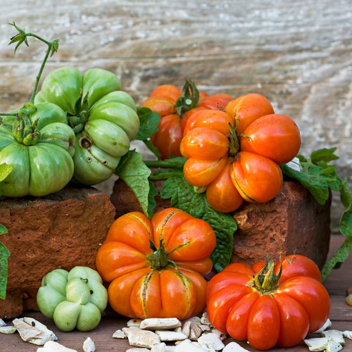 Tomato Costuluto Genoves Vegetable Seeds - heirloom seeds for your garden from the Colonial Williamsburg seed collection | The Shops at Colonial Williamsburg