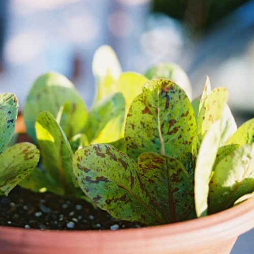 Speckled Lettuce Vegetable Seeds - heirloom seeds for your garden from the Colonial Williamsburg seed collection   The Shops at Colonial Williamsburg