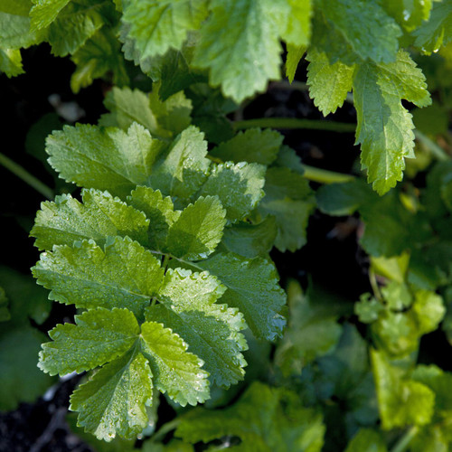 Parsley Italian Herbs Seeds