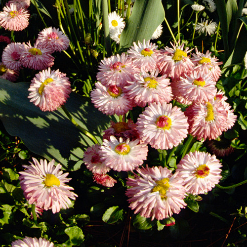 English Daisy Flower Seeds - flowering