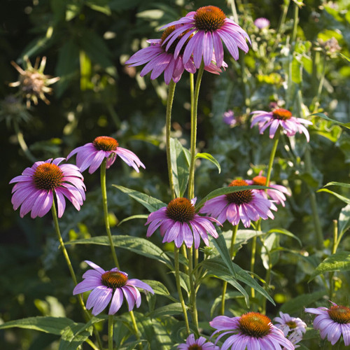 Purple Coneflower Flower Seeds - heirloom seeds for your garden from the Colonial Williamsburg seed collection | The Shops at Colonial Williamsburg
