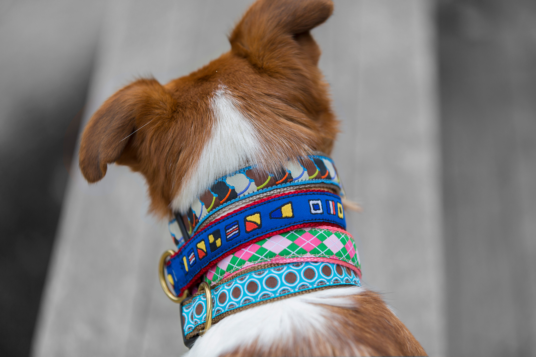 dog with collars on neck