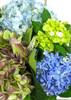Seasons Hydrangea Harvest