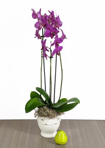 Fuchsia Double Phalaenopsis
