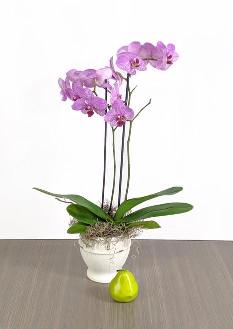 Pink  Double Phalaenopsis plant
