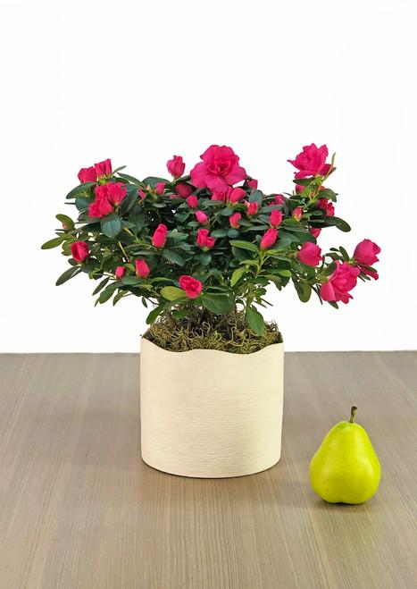 Potted Azalea plant