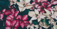 Ask a Florist: Proper Poinsettia Care for the Holidays