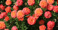 June Birth Flowers