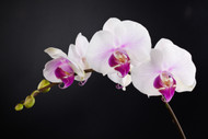 The Enduring Beauty Of Orchids
