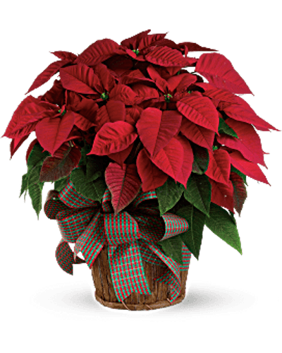 Red Poinsettia - A Holiday Favorite