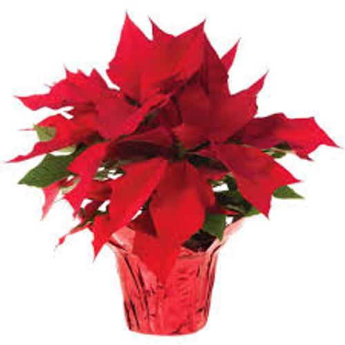 Our Best Value Poinsettia