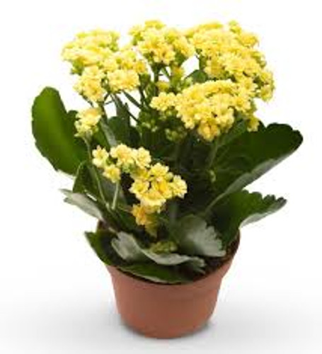 Yellow Kalanchoe Blooming Plant