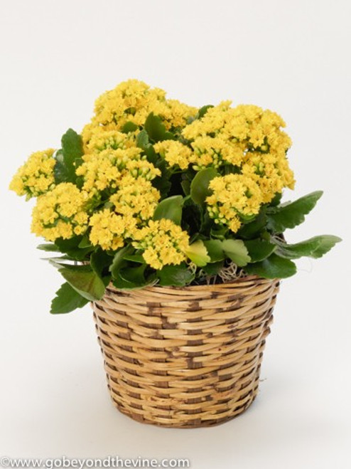 Chappell's Kalanchoe Blooming Plant