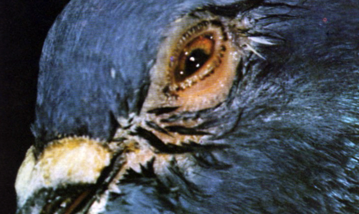 ORNITHOSIS (One Eye Colds)