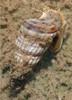 Saltwater Algae Eating Crew - 6 types of Algae Eaters - 100 Snails - Ships Free