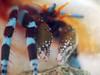Calcinus elegans