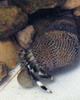 Left Handed Zebra Hermit Crabs