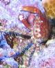 Mithrax Crab