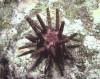 Longspine urchin