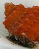 Cats Eye Orange Chestnut Snail (Turbo castanea)