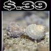 Brown Chestnut Snail - (Turbo castanea)