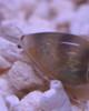 Marginella plumiosum