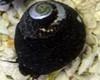 Margarita Snail (Margarites pupillus)