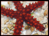 Red Knobby Starfish