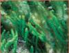Caulerpa Cupressoides Macro Algae - sm