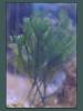 Caulerpa Fern Tree
