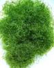 Green Saltwater Macro Algae Plant Chaetomorpha aka Chaeto (Chaetomorpha spiralis) - small - Excellent for Nutrient Control in an Aquarium