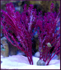 Decorator Macro Refugium Pack - Ships 4 Free & Excellent for Nutrient Control in an Aquarium