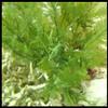 Fern Caulerpa Macro Algae