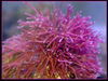Rigid red - hot pink macro algae