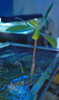 Rhizophora Mangle