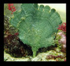 Bright Green Mermaid Fan (Udotea sp.) Saltwater Plant - Excellent for Nutrient Control in an Aquarium