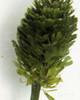Pinecone Plant (Penicillus sp.)