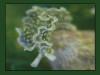 Hair Algae Destroyers - Small
