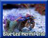 Blue Leg Hermit Crab - XLG