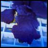 Photosynthetic Blue Plating Sponge (Collospongia auris)