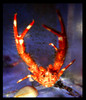 Squat Lobster (Munidopsis sp)