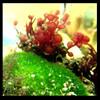 Luffy Marimo Moss Ball - Saltwater