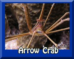 Saltwater Arrow Crab