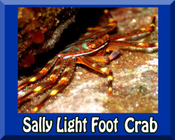 Saltwater Sally Lightfoot Crab