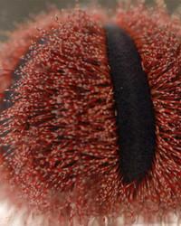 Colored Tuxedo Urchin