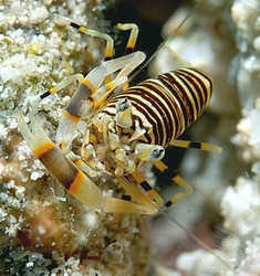 Bumble Bee Shrimp