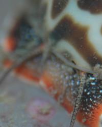 Large Speckled Nassarius Snail